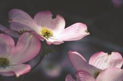 花木兰粉红色 图库摄影