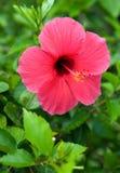 花木槿红色 库存图片