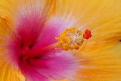 花木槿 库存照片