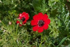 花本质上,与阳光的红色毛茛 免版税库存图片