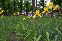 花束在黄色,蓝色虹膜公园  库存图片