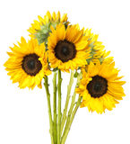 花束查出的向日葵白色 免版税库存照片