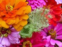 花束百日菊属 库存图片
