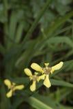 花束石斛兰属黄色 库存图片