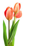 花束红色郁金香 图库摄影