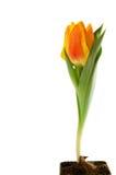 花查出的春天郁金香白色 免版税库存图片