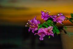 花查出罐白色 日落, Apo海岛,菲律宾 免版税库存图片
