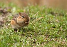 花栗鼠东部striatus花栗鼠类 库存图片