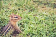 花栗鼠从洞穴部分地涌现 免版税库存图片