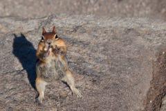 花栗鼠叫化子 图库摄影