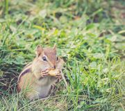 花栗鼠吃大坚果,特写镜头 库存照片