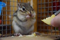 花栗鼠在动物园,傲德萨,乌克兰里 免版税库存图片