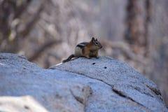 花栗鼠在爱达荷 免版税库存图片