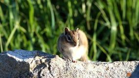 花栗鼠坐岩石