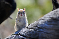 花栗鼠坐树 库存图片