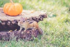 花栗鼠寻找种子,并且在日志的坚果绊倒用在上面的南瓜 免版税图库摄影