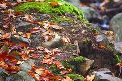 花栗鼠小动物在秋天叶子掩藏 免版税图库摄影