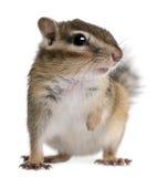 花栗鼠接近的euamias西伯利亚sibiricus 库存照片