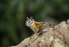 花栗鼠最少岩石 图库摄影