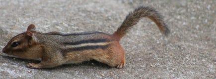 花栗鼠狩猎 免版税图库摄影