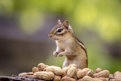 花栗鼠用花生 图库摄影