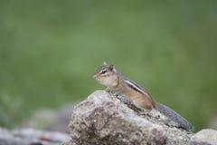 花栗鼠的生活 图库摄影