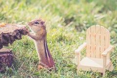 花栗鼠设法看什么是在树桩顶部在adirondack椅子旁边 免版税库存图片