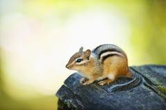花栗鼠逗人喜爱的日志 免版税库存图片