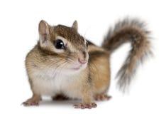 花栗鼠euamias西伯利亚人sibiricus 免版税库存图片