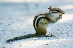 花栗鼠euamias西伯利亚人sibiricus 图库摄影