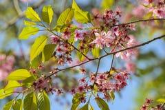 花桃红色和绿色叶子 免版税库存照片