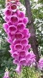 花桃红色和紫色 免版税库存图片