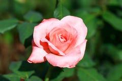 花桃红色在庭院里 库存图片