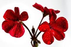 花桃红色大竺葵 背景查出的白色 特写镜头 没有阴影 对设计 库存照片