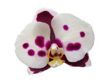 花桃红色察觉了在春日热带庭院的白色背景隔绝的兰花 库存照片