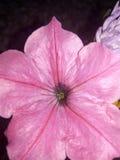 花桃红色星 库存图片