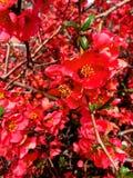 花桃红色春天 库存图片