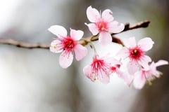 花桃红色枝杈 免版税库存照片