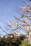 花桃红色树 库存图片