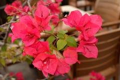 花桃红色热带 免版税图库摄影
