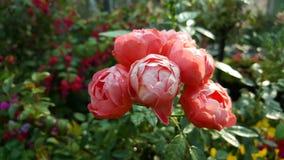 花桃红色玫瑰 库存照片