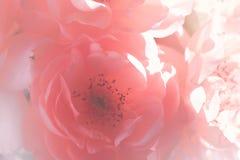 花桃红色玫瑰 库存图片