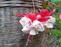 花桃红色白色 库存图片