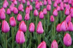 花桃红色郁金香 春天的芽开花 在一张被弄脏的背景bokeh侧视图 特写镜头 对设计 免版税库存图片