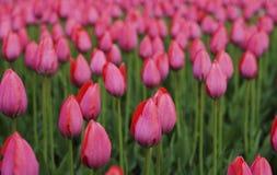 花桃红色郁金香 春天的芽开花 在一张被弄脏的背景bokeh侧视图 特写镜头 对设计 库存图片