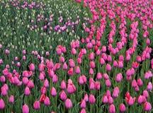 花桃红色郁金香 春天的芽开花 美丽的郁金香的领域 侧视图 对设计 库存图片