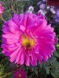 花桃红色雏菊庭院上升了 免版税库存图片