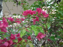 花桃红色结构树 库存图片