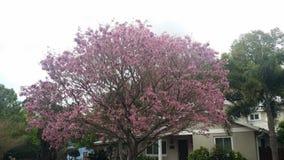 花桃红色结构树 免版税库存照片