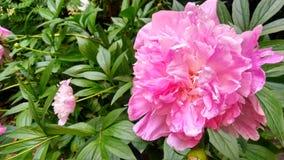 花桃红色1灌木叶子02 07 19 图库摄影